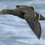 Sea duck flying over the water